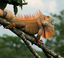 Green Iguana by Robbie Labanowski