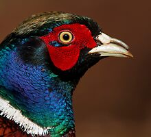 Male Pheasant by Neil Bygrave (NATURELENS)