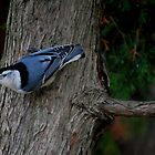 Nuthatch on the Cedar by Diane Blastorah