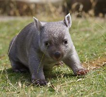 """OK - are you """"Dad""""? - no?-Tunna the baby wombat , now 2 Kg and  looking good by Ron Co"""