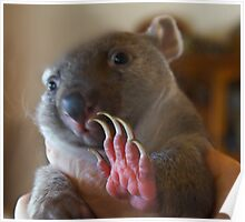 Paws up! -Tunna the baby wombat , now 2 Kg and  looking good Poster