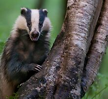 Badger, Devon by Tim Collier