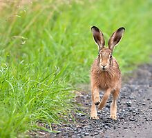 Brown Hare, Lancashire Mosses by Tim Collier