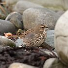 Rock pipit by Jon Lees