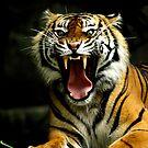 Sumatran Tiger with Teeth by Steve Munro