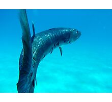 Great Baracuda Photographic Print