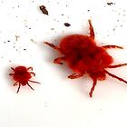Red Velvet Mites by Carla Jensen