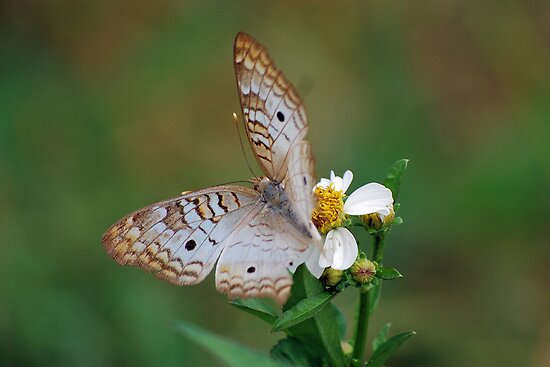 White butterfly on Spanish Needles 2 by Ben Waggoner