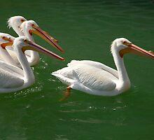 American White Pelicans by Frank Bibbins