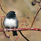 Dark Eyed Junco by titus