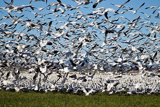 Snow Geese Take Flight by Barb White