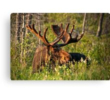 Moose In Meadow Canvas Print