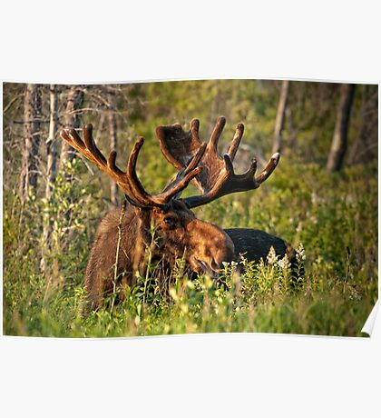 Moose In Meadow Poster