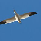 Snow Goose in Flight by Barb White