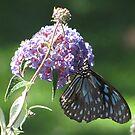 Blue Tiger Butterfly!!! by KiriLees