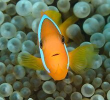 Black Anemonefish - Amphiprion melanopus by Andrew Trevor-Jones