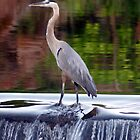 Heron on the Water by IndigoBleue
