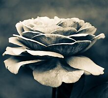 ~rose~ by AnnabelHC