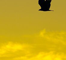 Hawk Silhouette on a Golden Sky by IndigoBleue