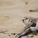 Red-capped Plover by DanielTMiller