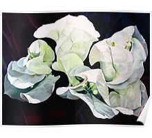 """Bugambilia"" - oil painting of white bougainvillea blossoms Poster"