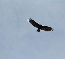 Buteo Regalis in Flight by Alyce Taylor