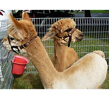 Alpacas on the Parliament Lawns Photographic Print
