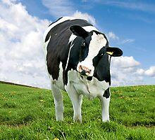 Cute Friesian Cow by pixelmemoirs