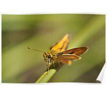 Southern Grass-dart butterfly Poster