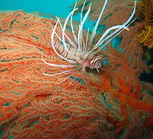 Baby Lion Fish by DiverDeb