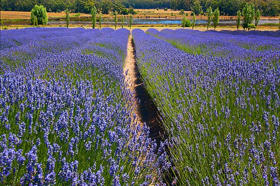 Lavender field - Daylesford by Hans Kawitzki