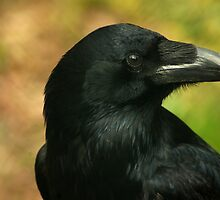 Raven, totem bird ... by steppeland