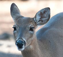 Beautiful Deer with Long Eyelashes by Photography by TJ Baccari