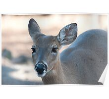 Beautiful Deer with Long Eyelashes Poster