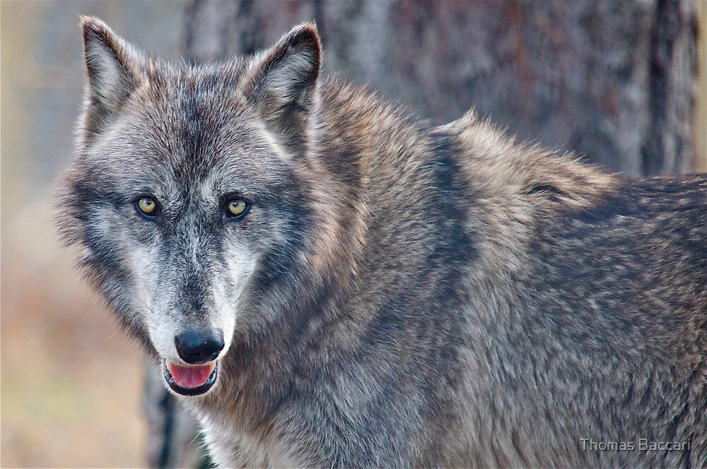 TIMBER WOLF by TJ Baccari Photography