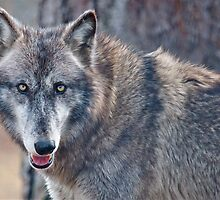 TIMBER WOLF by imagetj