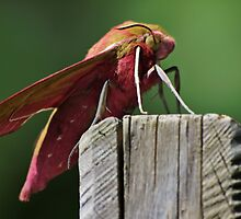 Beautiful Elephant Hawk Moth by NeilG