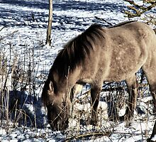 KONIK STALLION FEEDING IN THE SNOW by Johan  Nijenhuis