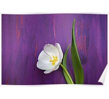 White Tulip on Purple Poster