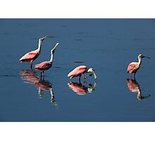 roseate spoonbill 's Photographic Print