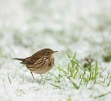 Meadow Pipit Snow Covered Grass by kernuak