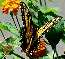 Butterfly and Lantana III by BLemley