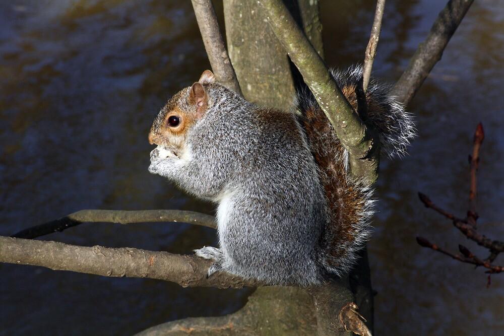 Grey Squirrell by Mel Harrison