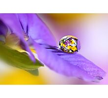 Pansy cluster Photographic Print