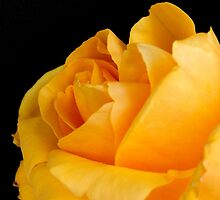 Yellow Rose by TabithaFox