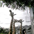 Don't stick your tongue out- Giraffes Photo by kreativekate