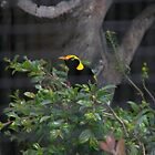 Black and Yellow Bird  by kreativekate