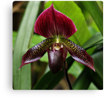 Lady's Slipper Orchid Canvas Print