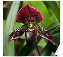 Lady's Slipper Orchid Poster
