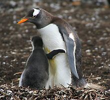 Gentoo Penguin and Chick by Laurel Talabere